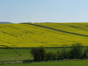 The Long Barrow runs along the crest of the hill, the path leads up through a flowering Canola crop in late April
