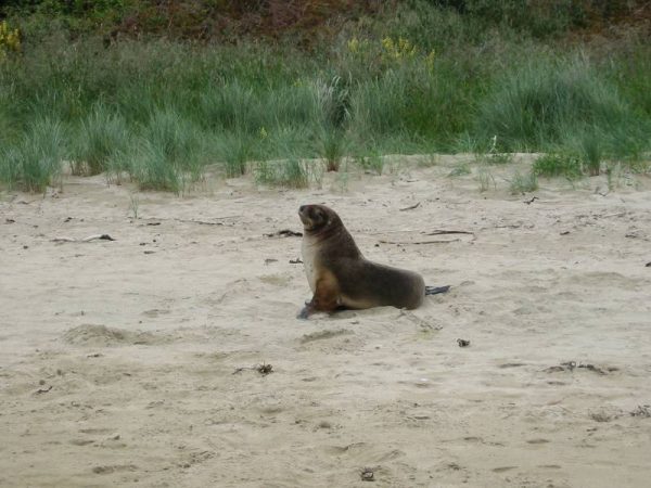Hooker's sealion, New Zealand